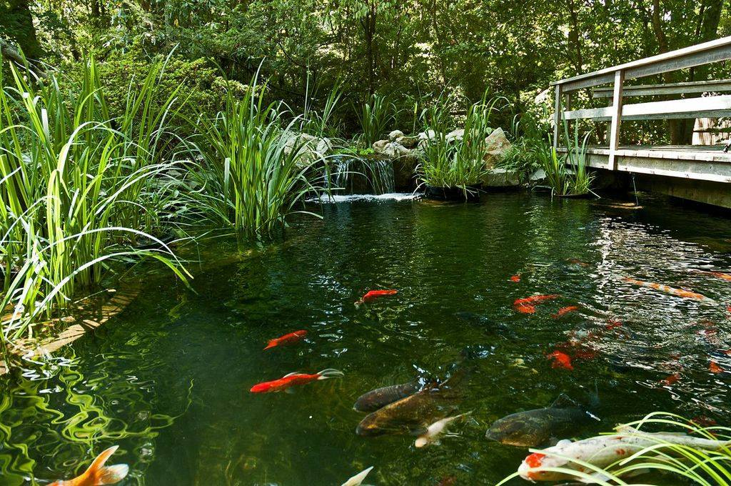 Natural swimming ponds embracing the pond life for Pool with koi pond