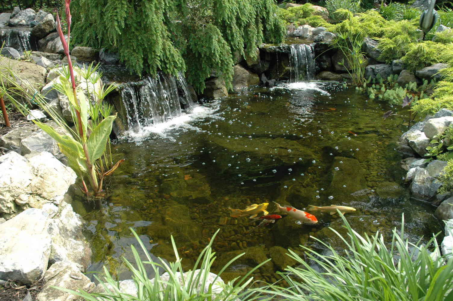 Koi ponds for Backyard pond plants and fish