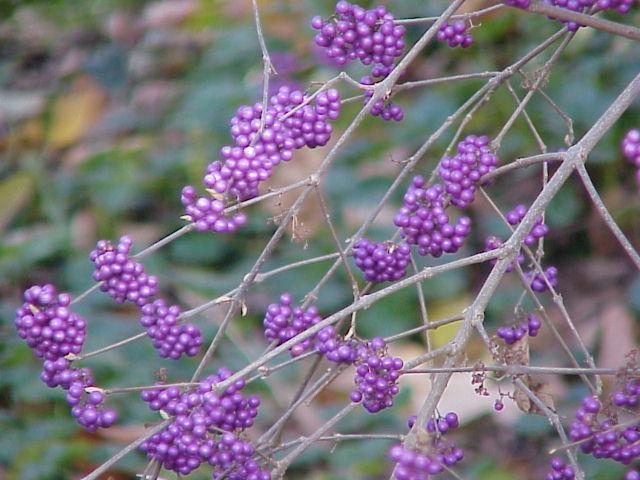 Callicarpa (or Beautyberry):