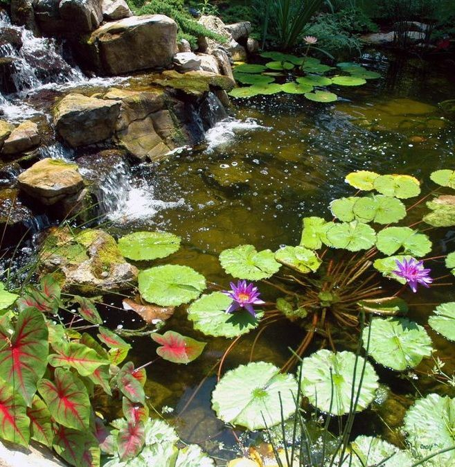 """Water lilies are very popular aquatic plants for backyard ponds. They not only offer vibrant color but they offer shade for pond fish and contribute in a positive way to an overall healthy eco-system,"" says Dave Stockwell."