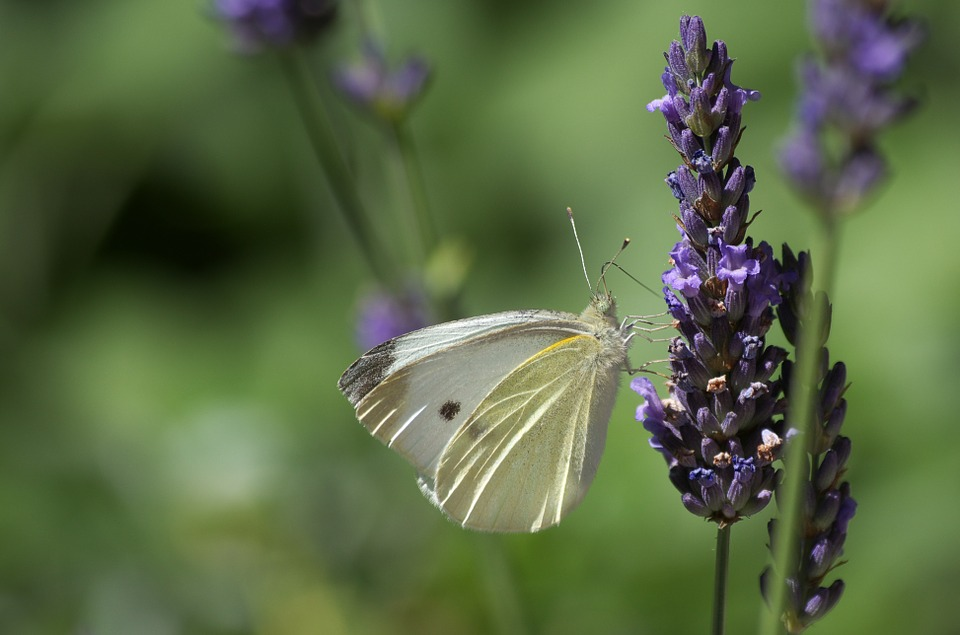Lavender and Butterflies: