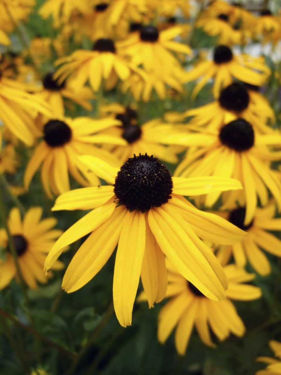 Black Eyed Susans (Photo: Hicks Nurseries):