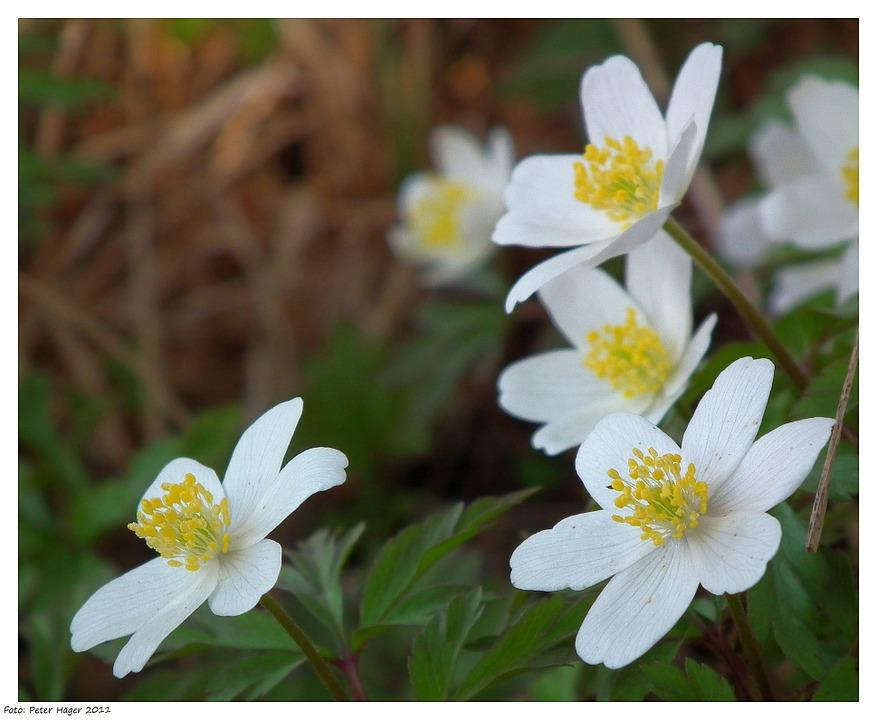 "Anemone Windflower -- or ""Honorine Jobert"