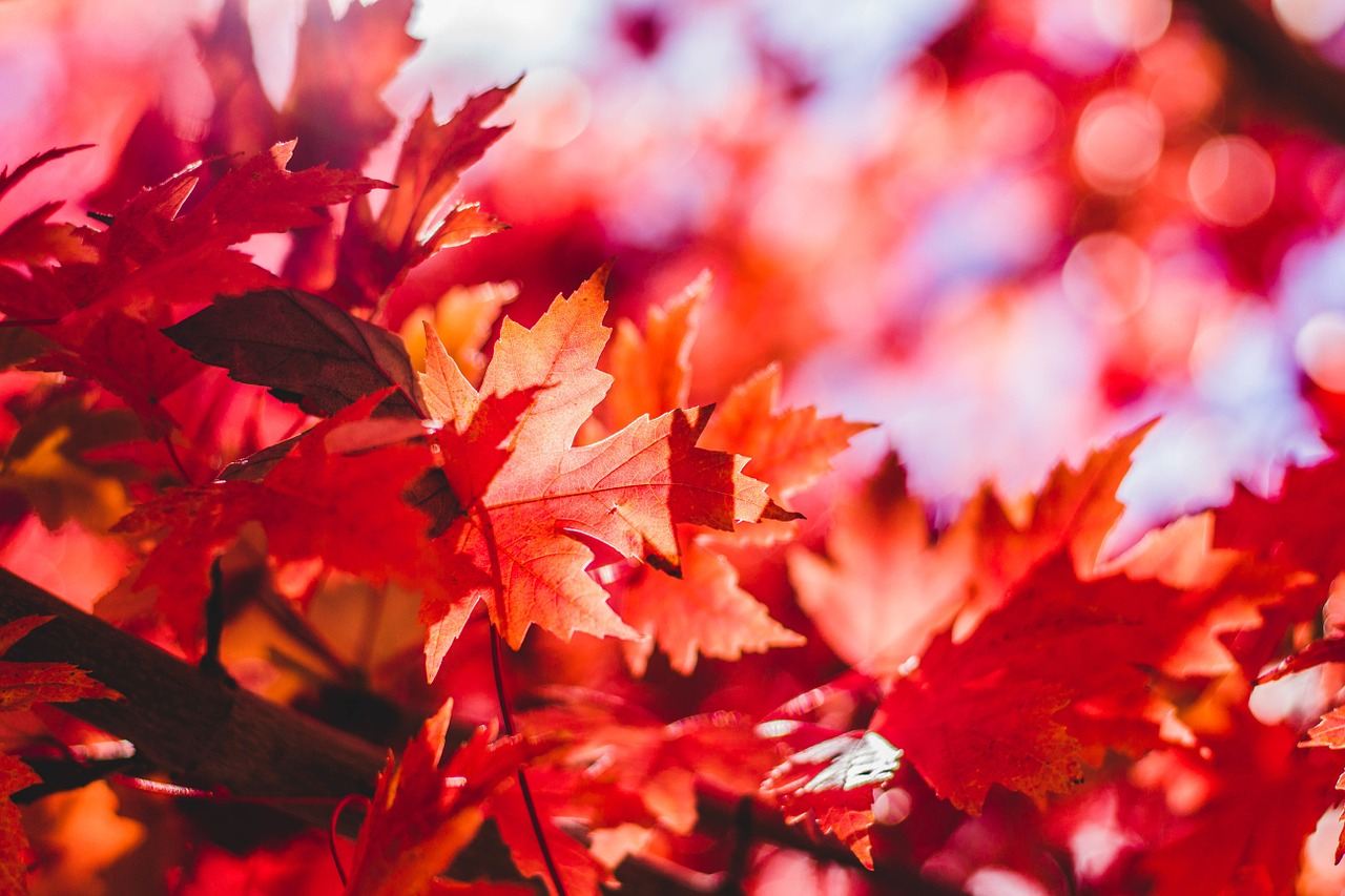 Red Maple in Fall: