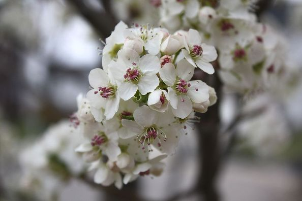 Cleveland Select Pear Tree in Spring: