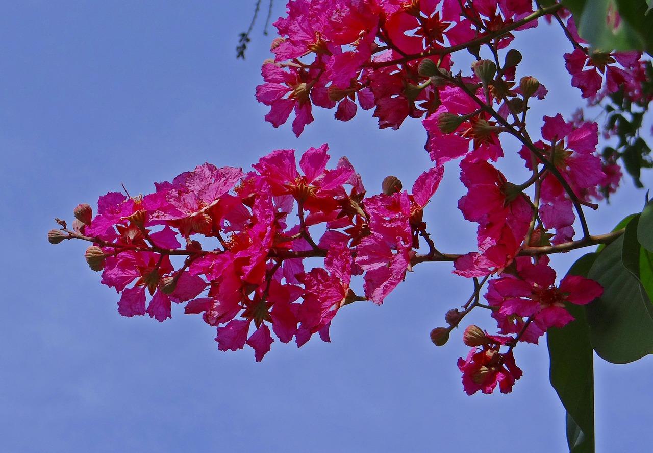 Crape Myrtle Tree: