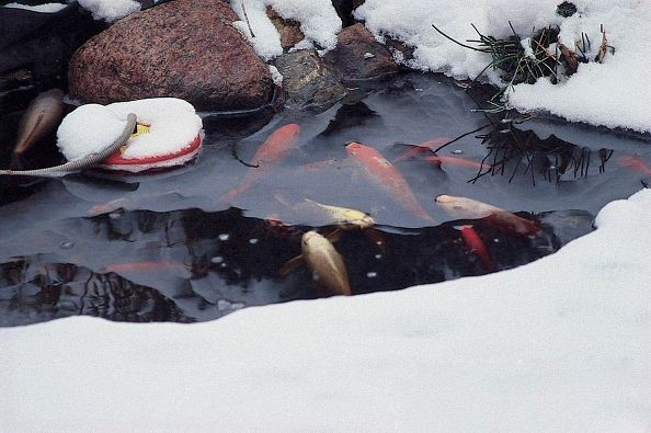 Contented Pond Fish in Winter: (Photo/Aquascapes Inc)