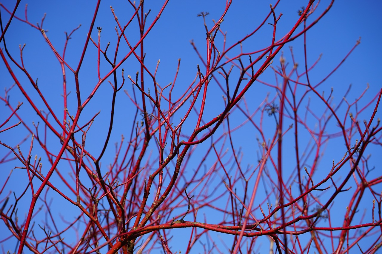 Red Twig Dogwood: