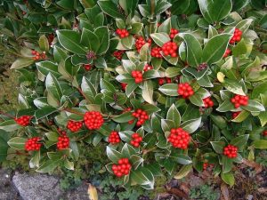Skimmia (Photo Credit: Musical Linguist at the English language Wikipedia)