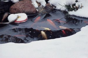 Happy Pond Fish in Winter: (Photo/Aquascape Inc)