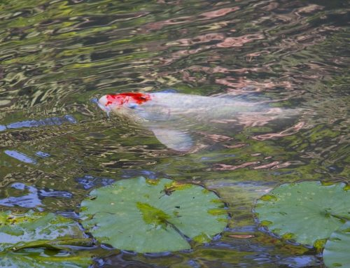 Fall Maintenance: Preparing Koi Ponds for Winter
