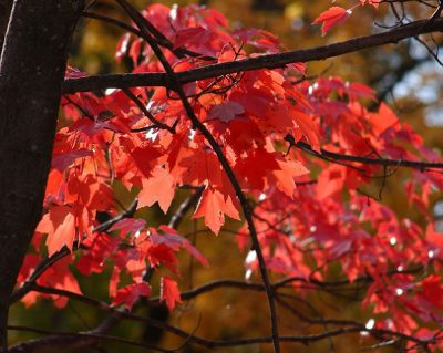 Red Maple in Fall: (Photo With Permission © by Jeff Dean)