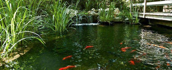 Koi Ponds (Long Island/NY):