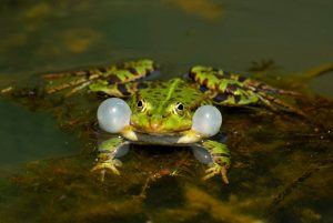Frogs are beneficial for a chemical-free environment