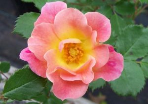 Mystic Rose - Photo/Sandra Vultaggio