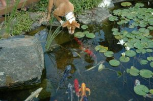 Koi is a healthy part of this pond's natural ecosystem