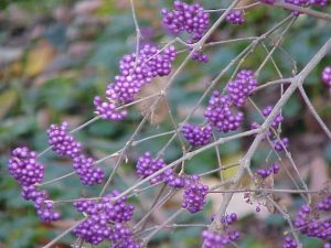 Callicarpa. Photo: Missouri Botanical Garden