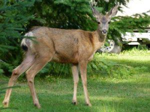 Deer-Proofing Your Garden
