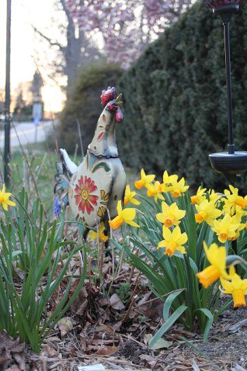 Ms. Vultaggio's Spring Garden: 'Tete a tete' daffodils brighten the horticulturist's spring yard.