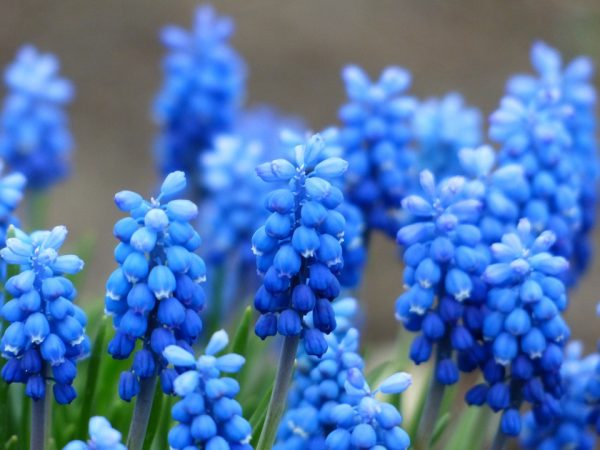 Grape Hyacinth: These beauties can make beautiful edging to other spring flowers.