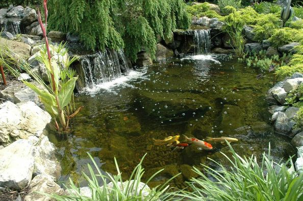 Pond Fish in Fall: