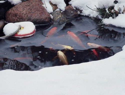 Can Pond Fish Survive in a Frozen Pond?