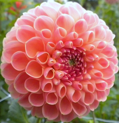 Coral Dahlia from Sun Spot catalog