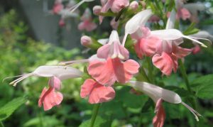 Salvia coccinea 'Coral Nymph'