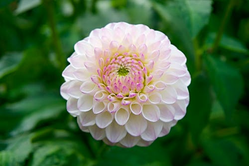 Dahlias Make Beautiful Blooms: