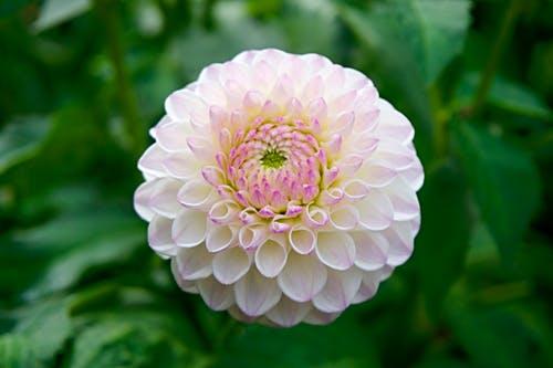 Dahlias Make Beautiful Blooms: