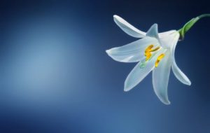 Candidum Lily Blooms in Spring