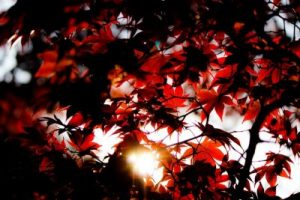 Fiery Red Foliage