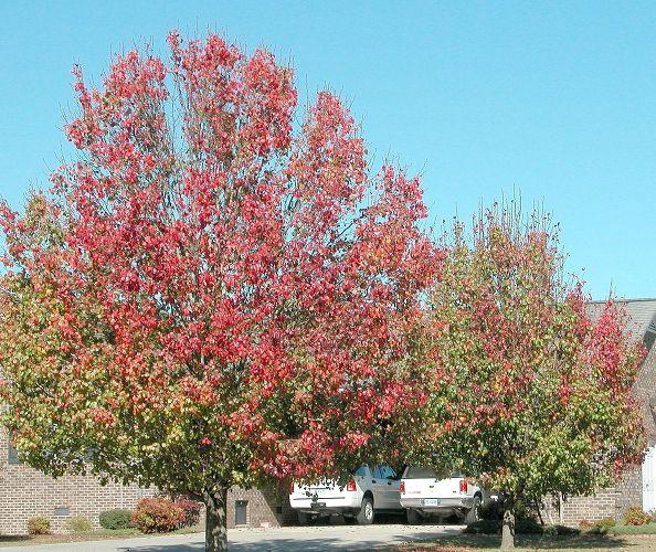 Bradford Pear Tree:
