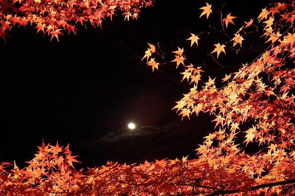 Japanese Maple (Photo With Permission: Wikipedia 松岡明芳):