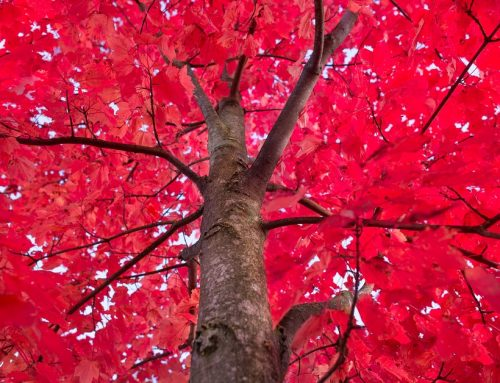 Some Like It Hot: Enjoying Red Fall Foliage at Home