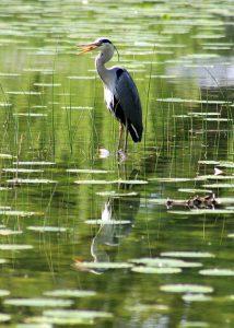 Herons Don't Like Deep Water