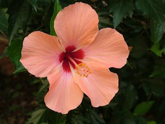 Hibiscus/worth coddling