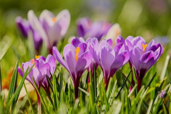 Crocuses: Colorful crocuses are often the first flower you see in spring. More good news: they return year after year.