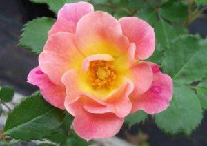 Mystic Rose – Photo/Sandra Vultaggio