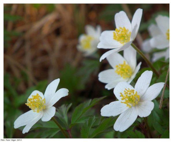 Honorine Jobert Anemone (aka Windflower)