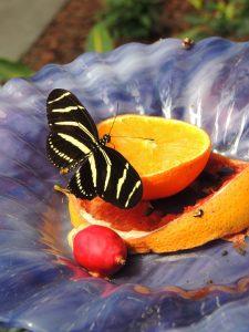 Monarchs Love Oranges!