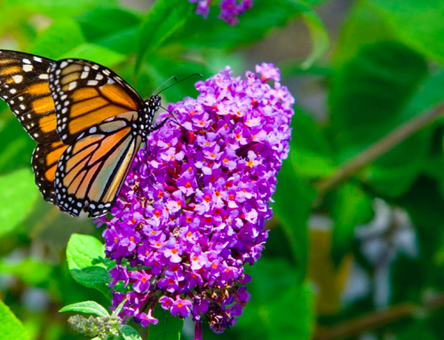 Landscaping: Making a Home for Monarch Butterflies