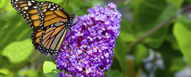 Butterfly Bush (Photo: Hicks Nurseries)