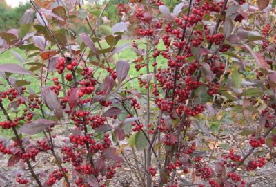 Chokeberry Aronia melanocarpa:
