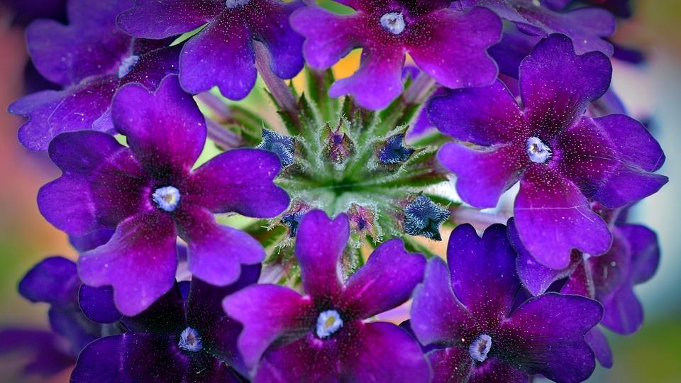 Verbena/Ideal summer plants