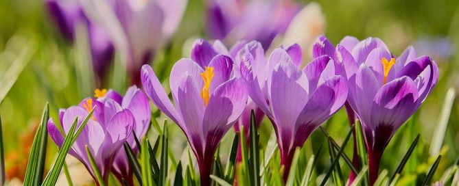 Crocus: These beauties are often the first flower you see in spring. And they return year after year.