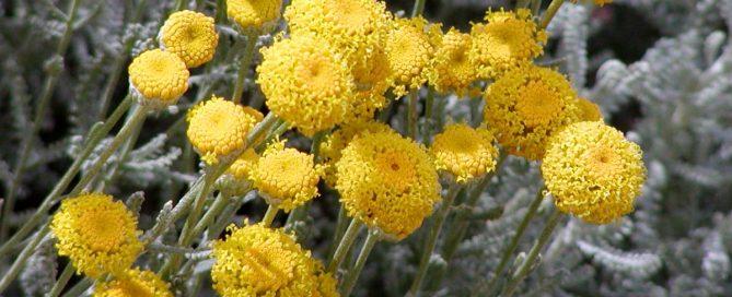 Cotton Lavender/Santolina chamaecyparissus